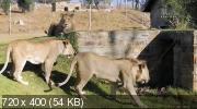 Animal Planet. Королева львов [1-6 серии из 6] (2015) HDTVRip
